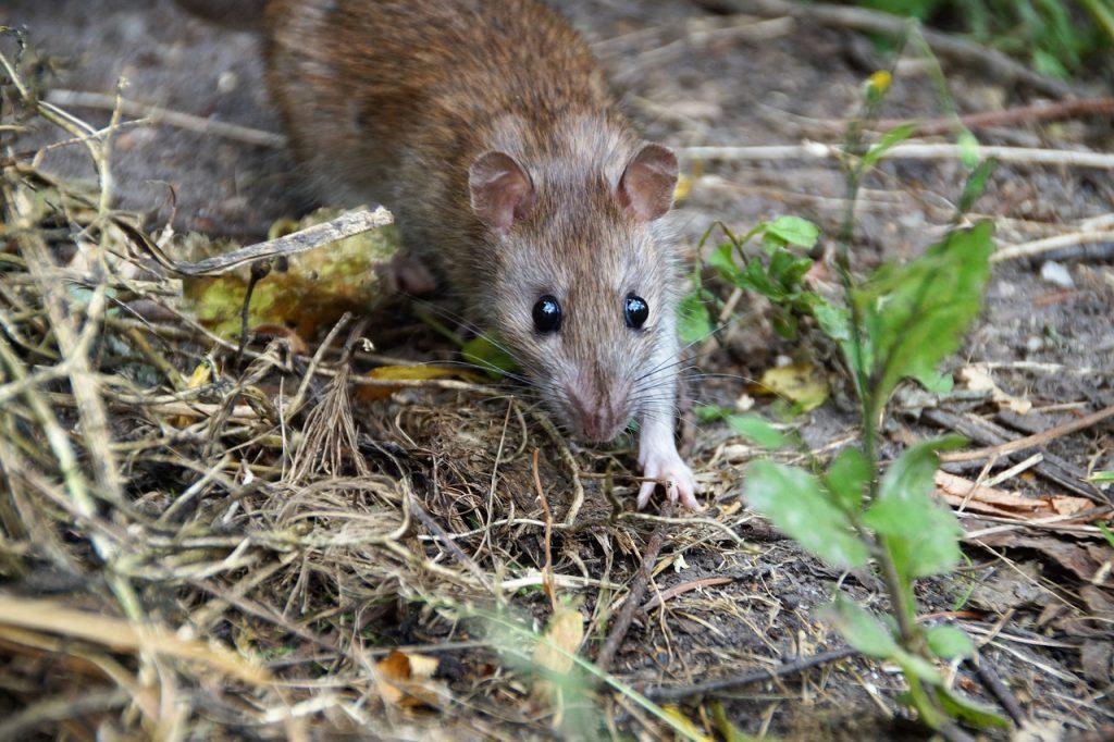 Rat Mouse Rodent Eyes Wild  - ivabalk / Pixabay